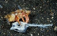 Hermit crab eating dead Fish, Dardanus pedunculatus, Lembeh Strait, Celebes, Sulawesi, Indonesia