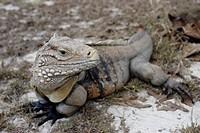 Lesser Caymans iguana, Cyclura nubila caymanensis, Caribbean Sea, Cayman Islands
