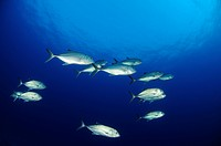 School of bigeye trevally, Caranx sexfasciatus, St. Johns Reefs, Red Sea, Egypt