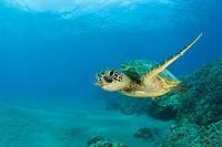 Green Turtle, Chelonia mydas, Bikini Atoll, Micronesia, Pacific Ocean, Marshall Islands