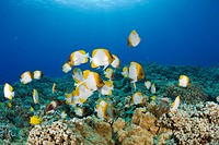 Pyramid Butterflyfishes, Hemitaurichthys polyepis, Molokini Crater, Maui, Hawaii, USA