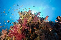 Colored Coral Reef, Elphinestone Reef, Red Sea, Egypt