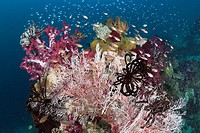 Golden Cardinalfish between colorful Corals, Apogon aureus, Raja Ampat, West Papua, Indonesia