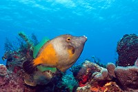 Whitespotted Filefish, Cantherines macrocerus, Cozumel, Caribbean Sea, Mexico