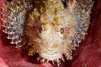 Small Scorpianfish, Scorpaenopsis sp., Lembeh Strait, North Sulawesi, Indonesia