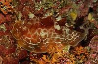 Pleurobranch Sea Snail, Pleurobranchus spec., Triscavac Bay, Susac Island, Adriatic Sea, Croatia