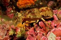 Lesser Locust Lobster, Scyllarus arctus, Triscavac Cape, Susac Island, Adriatic Sea, Croatia