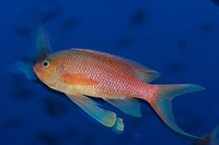 Mediterranean Anthias, Anthias anthias, Susac Island, Adriatic Sea, Croatia