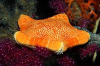 Starfish, Sphaerodiscus placenta, Susac Island, Adriatic Sea, Croatia