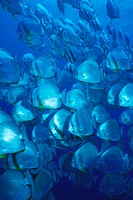 Shoal of Longfin Batfish, Platax teira, Ras Mohammed, Sinai, Red Sea, Egypt