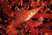 Longnose Hawkfisch, Oxycirrhites typus, Dahab, Sinai, Red Sea, Egypt