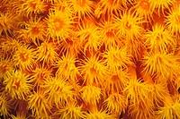 Orange Cup Corals, Tubastrea faulkneri, Manado, Sulawesi, Indonesia