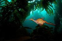 Weedy Sea Dragon, Phyllopteryx taeniolatus, Tasmania, Australia