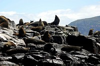 Colony of Fur Seals, Arctocephalus forsteri, Tasman Peninsula, Tasmania