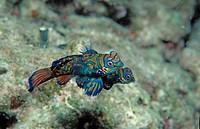 Mandarinfish, Synchiropus splendidus, Pacific ocean Borneo Mabul, Malaysia