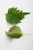 Perilla also known as Shiso