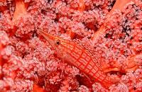 Longnose hawkfish, Oxycirrhites typus, Indian Ocean, Maldives Island