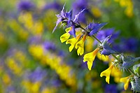 blossom, summer, close_up, 1, one, yellow and blue, blue and yellow, blue, yellow, melampyrum nemorosum, lehtomaitikka, plants, botany, botanical, flo...