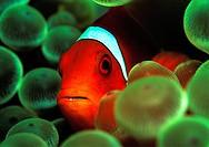 Spinecheek clownfish, Premnas aculeatus, Pacific ocean, Micronesia