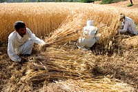 India, Haryana, harvest of rice