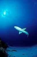 Caribbean reef shark, Carcharhinus perezi, Atlantic Ocean, Bahamas
