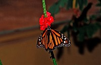 Monarch butterfly, Danaus plexippus, Mexico