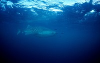 Whaleshark, Rhincodon typus, Afar Triangle, Gulf of Aden, Gulf of Tadjourah, Djibouti, Africa