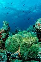 Magnificent Anemone in Coral Reef, Heteractis magnifica, North Ari Atoll, Maldives