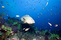 Dusky Grouper over Coral Reef, Epinephelus marginatus, Carall Bernat, Medes Islands, Costa Brava, Mediterranean Sea, Spain