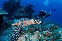Hawksbill Turtle and Diver, Eretmochelys imbricata, Micronesia, Pacific Ocean, Palau