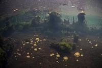 Upside Down Jellyfish in Marine Lake, Cassiopea sp., Raja Ampat, West Papua, Indonesia