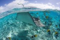 Southern Stingray, Dasyatis americana, Bora Bora, French Polynesia