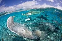 Southern Stingray and Blacktip Reef Shark, Dasyatis americana, Bora Bora, French Polynesia