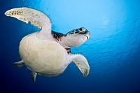 Green Turtle, Chelonia mydas, Micronesia, Palau