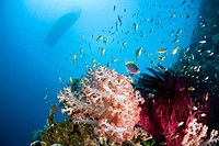 Coral Reef and Threadfin Anthias, Pseudanthias huchtii, Cabilao Island, Visayas Islands, Philippines
