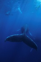Humpback Whale and Free Diver, Megaptera novaeangliae, Silver Banks, Caribbean Sea, Dominican Republic