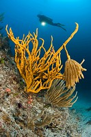 Squid Eggs hanging on Yellow Sponge, Axinella Canabina, Marettimo, Aegadian Islands, Sicily, Mediterranean Sea, Italy