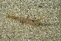 Common Shrimp, Palaemon serratus, Massa Lubrense, Sorrentine Peninsula, Campania, Thyrrhenian Sea, Mediterranean Sea, Italy