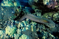 Undulated Moray, Gymnothoray undulatus, Kona, Big Island, Hawaii, USA