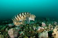 Catfish swimming, Anarhichas minor, Spitsbergen, Svalbard Archipelago, Norway