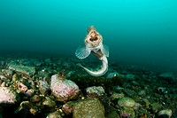 Catfish with open Mouth, Anarhichas minor, Spitsbergen, Svalbard Archipelago, Norway