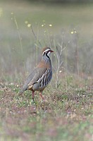 Rock partridge Alectoris graeca