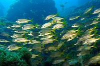 School of smallmouth grunts , Haemulon chrysargyreum, Fernando de Noronha, Pernambuco, Atlantic, Brazil
