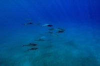 Spinner dolphins, Stenella longirostris, Big Island, Hawaii, USA