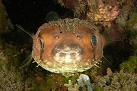 Balloon Porcupinefish at night, Diodon holocanthus, Dumaguete, Negros, Visayan Sea, Philippines