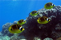 Racoon Butterflyfish, Chaetodon lunula, Kailua_Kona, Big Island, Hawaii, USA