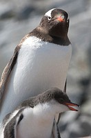 Adelie penguin colony at Pleneau Island Antarctic peninsula Mother and chick