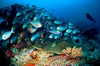 School of Elongate surgeonfish with Diver, Acanthurus mata, Komodo, Flores Sea, Indonesia