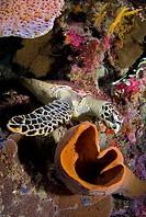 Hawksbill Turtle, Eretmochelys imbricata, Celebes, Banda Sea, Indonesia