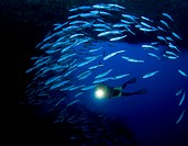 Diver and Jack Fishes, Caranx sexfasciatus, Sipadan, Borneo, Malaysia